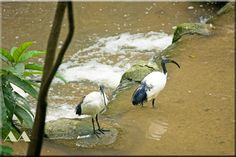 Birds on the river ( Ibis Sacre) in Kuala Lumpur Bird Park, Malaysia by Aili Alaiso, Finland Photo Memories, North Africa, Kuala Lumpur, Finland, Turkey, Birds, River, Park, Animals