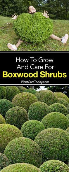 "Boxwood shrubs are evergreen plants, planted in formal and informal elegant landscapes. Grown for foliage and their ""shaping ability"" [LEARN MORE]"