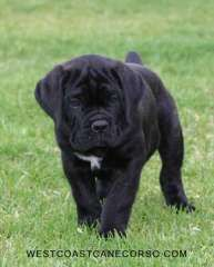 Purebred Cane Corso Puppies (Italian Mastiff) | puppies for sale kingscliff New South Wales | Cane Corso dogs for sale in Australia - @ #pups4sale - http://www.pups4sale.com.au/dog-breed/690/Cane-Corso.html