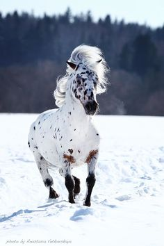 Make one special photo charms for your pets, compatible with your Pandora bracelets. Beautiful Appaloosa with a pretty spotted face running in the snow with his wild mane flowing in the wind. All The Pretty Horses, Beautiful Horses, Animals Beautiful, Cute Animals, He's Beautiful, Absolutely Gorgeous, Beautiful Things, Horses And Dogs, Wild Horses