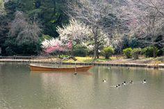 Teich im Park. Ume blossom
