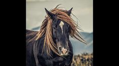 Was das Haar verrät.Auch unter Huftieren gibt es sowohl Links- als auch Rechtstreter. Pferde mit einem Haarwirbel im Uhrzeigersinn traben lieber rechtsherum, haben irische Forscher herausgefunden. Tatsächlich sollen die Gesichter der Tiere, speziell der Haarwirbel oberhalb der Augen, die Linkshänder verraten: Dreht sich der Haarwirbel auf der Stirn gegen den Uhrzeigersinn, dann bevorzugt das Pferd mit großer Wahrscheinlichkeit die linke Seite. Diese Theorie traf bei der Untersuchung nicht…