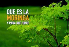 """La """"Moringa"""" tiene numerosos usos terapeuticos y medicinales, no te pierdas esta nota para aprender para qué sirve la Moringa."""