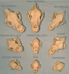 Dog breeds skull comparison. When this man-made Evolution can charge a species so much in so short a time, it's unbelievable some won't understand what a much much longer time-span can do.