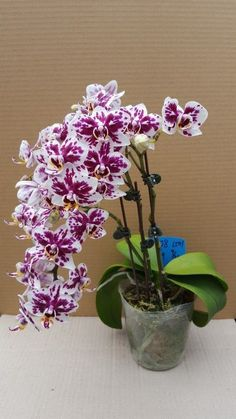 I love life today. I like to find a reason tomorrow. Tropical Flowers, Exotic Flowers, Amazing Flowers, Beautiful Flowers, Orchids Garden, Orchid Plants, Bonsai, Orchid Flower Arrangements, Orquideas Cymbidium