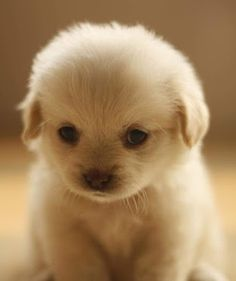 Too cute. Why hasn't anybody bred a dog that remained this small and cute. It would overtake the Chihuahua in no time at all! I'd get one to put into my man-bag ;)
