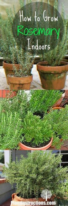 Urban Garden Growing rosemary is easy with these DIY tips and tricks! - Learn how to grow rosemary indoors or in a pot! Rosemary adds a world of depth to any dish and will smell amazing in your kitchen! Rosemary Plant Care, Grow Rosemary, Rosemary Garden, Growing Herbs, Growing Vegetables, Landscaping Tips, Garden Landscaping, Peace Lily, Herbs Indoors