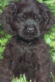 Black Cocker Spaniel puppy. Precious!