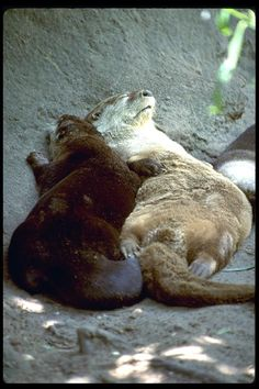 River Otters Enjoying The Day Otter Facts, River Otter, Cute Animal Pictures, Nature Animals, Wild Life, Otters, Livestock, Spirit Animal, Seals