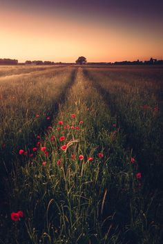 Tree at the End by HatCat Photography...... #poppy #field #sky #landscape #red #sunset #nature #flower #season #grass #countryside #sundown #dawn #crop #flora #agriculture #panoramic #rural #farm #outdoors