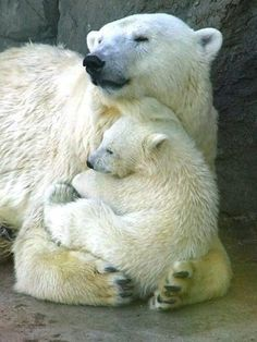 Osos polares acurrucándose.  Polar bears- momma cradling baby bear like a baby/cat