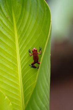 Red poison dart frog  (looks so tiny and innocent)