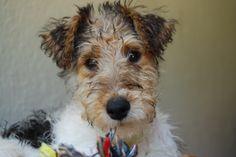 Perro Fox Terrier, Fox Terriers, Wire Fox Terrier, Beautiful Dogs, Snuggles, Make Me Smile, Bunnies, Or, Cute Dogs