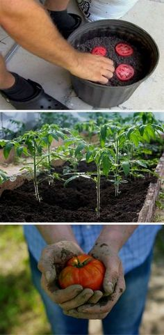 Here is a simple tutorial on how to grow tomatoes at home. This method is so easy, you get more seedlings for less than half the work! #GardenIdeas