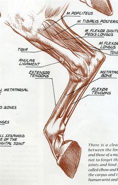 Horse Anatomy, Animal Anatomy, Anatomy Art, Horse Drawings, Animal Drawings, Veterinarian Quotes, Veterinarian Scrubs, Veterinarian Assistant, Veterinarian Office