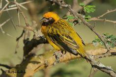8472. Heuglin's Masked-Weaver (Ploceus heuglini) | sub-Saharan Africa