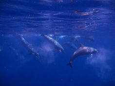 my dream come true ~ swimming with wild dolphins in the Maldives...