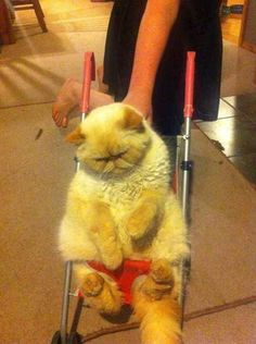 A miserable cat being pushed in a parambulator: | 30 Animal Pictures That Will Make You A Better Person