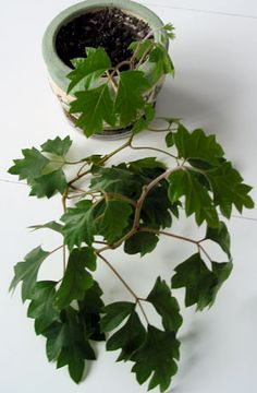 Cissus rhombifolia, grape ivy *this is the one I killed that mom had Succulents Garden, Garden Plants, Planting Flowers, Balcony Plants, Outdoor Plants, Cat Safe House Plants, Household Plants, Low Light Plants, Plant Identification