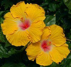 Tropical Hibiscus 'Playful'