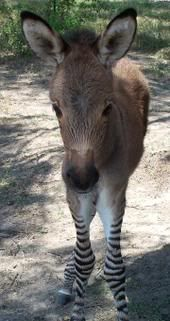 zonkey foal omg that's so cute. I want one so bad!!