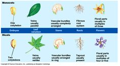 Plants can be divided into 2 categories: monocots and dicots. What makes the 2 types different and why is it important to understand which is which?