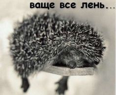 Hedgamahog (Hedgehog) - Sleeping in strange places comes naturally to Hedgamahog. by Rachael Hale Love Pictures, Animal Pictures, Funny Pictures, Animals And Pets, Baby Animals, Cute Hedgehog, Hedgehog Art, Strange Places, Tier Fotos