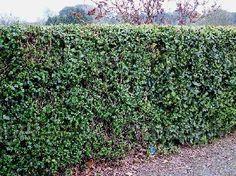 Escallonia Formal Hedge
