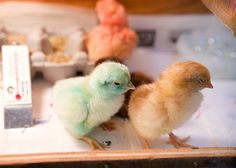 SCIENCE: Incubation & Embryology of the Chick / Chick Coloring > during embryo development! Chicks hatch different colors. Come see how!   (P.S.A.-No chicks were harmed during this experiment. : )