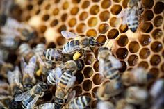 Close up of bees with pollen on a honeycomb.  Photographer: Fred Dott / Greenpeace