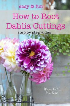 Cuttings Propagate Dahlias from Cuttings. This is so easy and you can get tons more dahlias and still get plenty of blooms from the mother plant. I find it easier than dividing the tubers but you can do that too. via Dahlias fr Cut Flower Garden, Beautiful Flowers Garden, Cut Garden, Porch Garden, Balcony Garden, Spring Garden, Indoor Garden, Gardening For Beginners, Gardening Tips