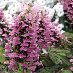 Proven Winners - Gatsby Pink® - Oakleaf hydrangea - Hydrangea quercifolia pink white white flowers quickly change to pink plant details, information and res. Hydrangea Quercifolia, Hydrangea Shrub, Hydrangea Care, Hydrangea Flower, Oak Leaf Hydrangea, Garden Shrubs, Flowering Shrubs, Trees And Shrubs, Garden Plants