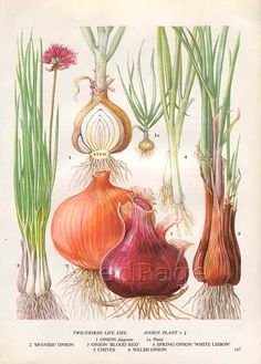 Vintage Vegetable Botanical Print Food Plant Chart Art by AgedPage