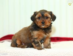 Dakota - Shorkie Puppy for Sale in Shreve, OH Shorkie Puppies For Sale, Designer Dogs Breeds, Pennsylvania, Dog Breeds, Animals, Animales, Animaux, Animal, Animais