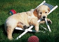 My Baby Golden Retriever Puppies Puppies And Kitties, Cute Puppies, Cute Dogs, Doggies, Golden Retriever Bebe, Golden Retrievers, Orange Kittens, Weekend Humor, Dog Rules