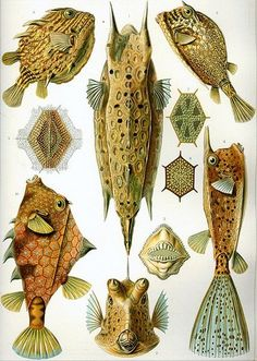Great fish pic from Ernst Haeckl ostraciontes / ernst haeckel
