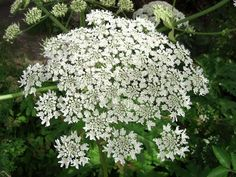 Hogweed tea, is used successfully in treating sterility . The tea can be used as natural aphrodisiac . Natural Lifestyle, Medicinal Plants, Natural Treatments, Herbal Medicine, Herbalism, Health, Nature, Herbs, Plants