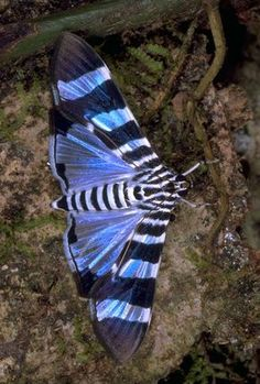 Snout moth -- (Neolepidoptera: Pyraloidea); Location Poco Sol, Costa Rica