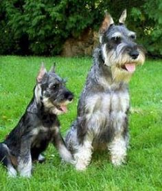 They are members of the working group. They are great rat catchers and guard dogs. They stand at 17 inches at the shoulder and weigh about pounds. Schnauzer Breed, Schnauzer Grooming, Standard Schnauzer, Schnauzers, Miniature Schnauzer, Really Cute Puppies, Cute Dogs, Love Pet, I Love Dogs