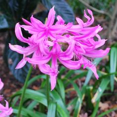 """Amarine Belladiva  Hybrid of Amaryllis belladonna & nerine bowdenii. The flowers are mid-way between the parents - more trumpet like than nerine but smaller than amaryllis. They will thive in a well-drained situation in either sun or semi-shade. Bright pink flowers.    Height 12-24"""" (30-60cm)    Bulb size 16+ cm    Pack of 3 bulbs £8.50"""