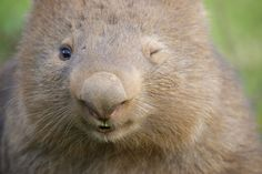 This Wombat just wink at me.