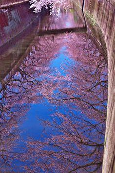 Cherry trees in Japan