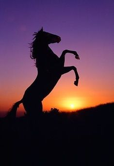 Silhouette of Quarter Horse rearing at sunset Cute Horses, Pretty Horses, Horse Love, Silhouette Painting, Horse Silhouette, Horse Photos, Horse Pictures, Most Beautiful Horses, Animals Beautiful