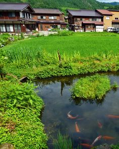 """""""Old School Aquaponics"""" - koi fish among rice patties. It's a mutually beneficial system that produces far more food per acre with far less soil degradation."""