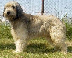 Image Detail for - Photo Catalonian sheepdog (Dog standard) (Catalan Sheepdog)