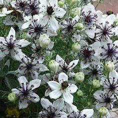 Nigella African Bride Flower Seeds / Love In A Mist / Annual Crochet African Flowers, Bride Flowers, Cut Flowers, Summer Flowers, Wedding Flowers, Gothic Garden, Deer Resistant Plants, Annual Flowers, White Gardens