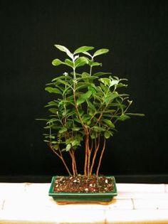 Feijoa Bonsai