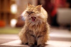 Cat yawns