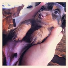 This is @Samantha Cadman's Toddynho from Brazil at 20 days!  #dogsofinstagram #dog #puppy #puppypal #brazil - @dogsofinstagram- #webstagram
