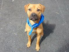 URGENT - Manhattan Center    REINS - A0995664    FEMALE, BROWN / BLACK, PIT BULL / PUG, 8 mos  STRAY - STRAY WAIT, NO HOLD  Reason STRAY   Intake condition NONE Intake Date 04/03/2014, From NY 10457, DueOut Date 04/06/2014  https://www.facebook.com/photo.php?fbid=783069931705888&set=a.617938651552351.1073741868.152876678058553&type=3&permPage=1